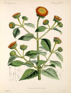 William Hemsley Botany , 1879-1888; Plants,  Image number:bca_21_05_00_111