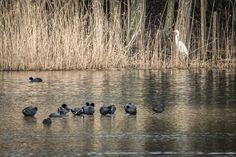 #wildlifephotography #luxembourg #igerslux #wanderlust #wildlife #nature #naturelovers #naturephotography #outdoors #outsideisfree #ic_nature #ignature #ignaturefinest #ig_captures_nature #instanaturelover #allnatureshots #haffreimech #remerschen #biodiversum #baggerweier #birding #birdwatching #ornithology #eye_spy_birds #dezpx_birding #wearetheluckyones #dezpx #greatcrestedgrebe #grebe (hier: Haff Reimech)