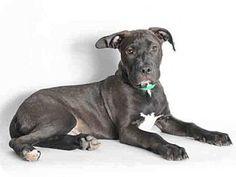 San Pedro, CA - Pit Bull Terrier/Labrador Retriever Mix. Meet MAX, a puppy for adoption. http://www.adoptapet.com/pet/12855826-san-pedro-california-pit-bull-terrier-mix