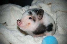 """a teacup pig!"" Let me borrow your teacup pig. Cute Baby Animals, Animals And Pets, Funny Animals, Farm Animals, Small Animals, Animal Pictures, Cute Pictures, Smile Pictures, Funniest Pictures"