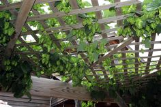 Grow hops over your patio for your own backyard beer garden