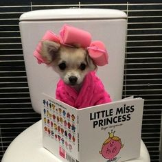 15 Photos Confirming That Chihuahuas Love Chic And Glamor Chihuahua Love, Chihuahua Puppies, Cute Dogs And Puppies, Chihuahuas, Doggies, Cute Little Animals, Cute Funny Animals, Little Dogs, Funny Animal Memes