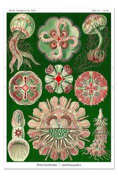Ernst Haeckel Jellyfish Art Print Haeckel Print Jellyfish