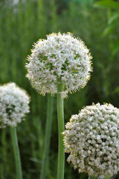 La flor de la cebolla...