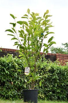 6ft Soulangeana Magnolia Tree   Half Standard   18L Pot £155.99 Pink Roses, Pink Flowers, Magnolia Soulangeana, Tree Stakes, Compost Soil, Magnolia Trees, Replant, Nature Plants, Edible Plants