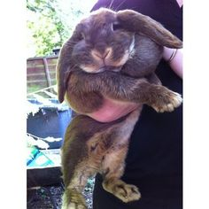 Giant French Lop RabbitsI | I had one of these babies once. His name was Bunzo Bunny LOL