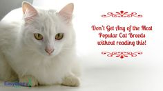 Don't Get Any of the Most Popular #cat Breeds without Reading This! @easyologypets