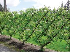 Grow a beautiful, diamond-shaped wall of fruit with a Belgian fence! http://www.raintreenursery.com/BLFNC/