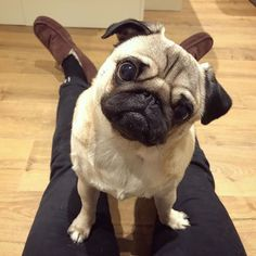 When Dad finishes a bacon sandwich without giving me any #puglife