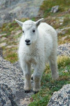 Check out Baby Mountain Goat by James Harris Photography on Creative Market