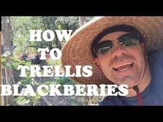 How To Trellis Blackberries!! Primocane suppression Method