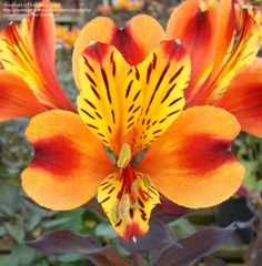 PlantFiles Pictures: Alstroemeria, Peruvian Lily, Lily of the Incas 'Indian Summer' (Alstroemeria) by kniphofia Peruvian Lilies, Floral Bouquets, Bouquet Flowers, Backyard Makeover, Indian Summer, Day Lilies, Calla Lily, Flower Designs, Daisy