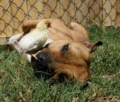 Hey, remember when this happened? | 37 Pictures That Will Restore Your Faith In Pit Bulls
