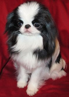 #VetsSherbourne The Japanese Chin do well with children but do not tolerate commotion or roughhousing. These lively, charming, happy dogs are easygoing, loyal, and full of life.