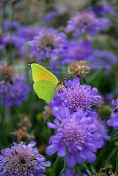 Always looking for sustainable, environmental friendly gardens & landscapes. Gonepteryx rhamni on Scabiosa 'Butterfly Blue' - Photo Maurizio Usai, design by Mother Nature :)