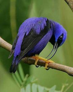Indigo blue and black