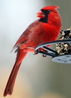 Male Cardinal eating at a feeder...they love sunflower seeds