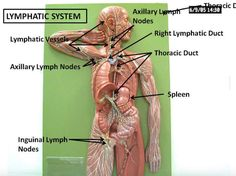 Clean your Body's Drains: 11 Ways to Detoxify your Lymphatic SystemREALfarmacy.com | Healthy News and Information