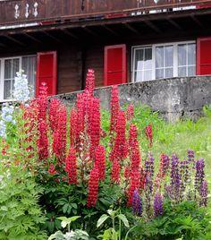 """In der Rubrik """"kontemplative Gärten"""" fällt dieser Garten aus der Reihe, fehlen ihm doch diese typsichen Ruhepol-Elemente. Aber dieses identische Rot von Lupine (http://galasearch.de/plants/11743-lupinus-polyphyllus-hybride) und Fensterläden bringt mich zum Sinnieren. Ist das gewollt oder Zufall? Ist der Zufall ein Ästhet? Wollte das Schicksal, dass ich genau an den wenigen Tagen der Vollblüte an dieser Almhütte vorbeikomme, um dieses Foto machen zu können? Wenn ja: Warum...?"""