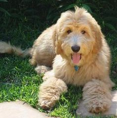 GoldenDoodle. one of the softest dogs ever! one of my neighbors had one named Teddy :)