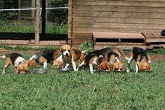 beagle party!