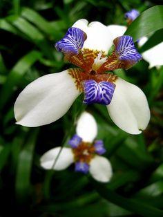 Orchid Iris by ipedaler, via Flickr