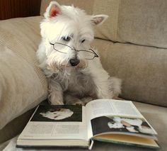 My Mum says I'm the smartest Westie ever! Yep.. I think my westie is the smartest!!