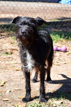 Pls pin! Adoptable dog. Nick Terrier Mix • Young • Male • Small Abandoned Animal Rescue Tomball, TX