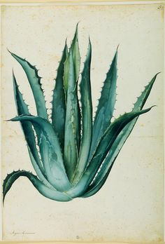 Reference on Medicinal Plants Medical Grade & Certified Organic Aloe . the best home remedy. and the base ingredient of Aloette products! Proud to be company in Canada for Clinical medical grade Aloevera based products! Art And Illustration, Botanical Drawings, Botanical Prints, Impressions Botaniques, Illustration Botanique, Nature Prints, Cacti And Succulents, Natural History, Artwork