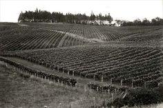 Te Kauwhata research vineyard