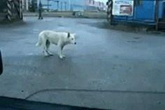 Este perro que se sacudía muy fuerte en su discoteca imaginaria. | Los 47 GIFs de perros más increíbles de 2013