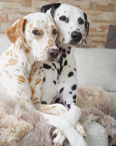 Cute Little Animals, Cute Funny Animals, Beautiful Dogs, Animals Beautiful, Small Cute Puppies, Dalmatian Dogs, Corgi Puppies, Jolie Photo, Cute Animal Pictures