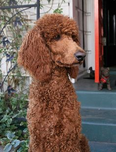 Red standard poodle vancouver