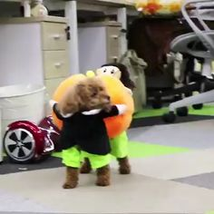 Dog Pumpkin Halloween Costume It's that time of year again! Get your pooch ready for Halloween ? Cute Puppy Videos, Funny Animal Videos, Cute Funny Animals, Cute Baby Animals, Funny Dogs, Funny Husky, Dog Videos, Animals Dog, Pumpkin Halloween Costume