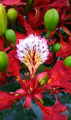 Flamboyant tree flower and buds