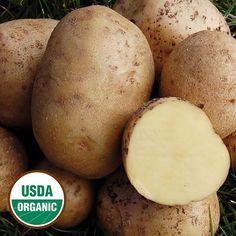 Yukon Gold Organic Potato - Seed Savers Exchange - prepare soil the previous year.
