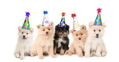 Five Pomeranian Puppies Celebrating a Birthday Royalty Free Stock Images