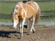 INDIAN BIGSTEP Paint Horse Stallion Champagne Cute Horses, Pretty Horses, Beautiful Horses, American Paint Horse, Paint Horses For Sale, Cute Horse Pictures, North American Tribes, Western Riding, Horse Ranch