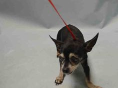 SUPER URGENT-15 YRS OLD!* PHINEAS – A1091847  MALE,  CHIHUAHUA SH MIX, 15 yrs STRAY –