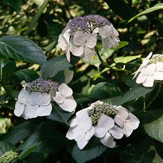 Considered one of best lacecaps, Hydrangea macrophylla 'Lanarth White' shows off large clusters of white florets faintly blushed with blue or pink. Its stiff stems keep the spectacular flowers standing upright. It grows 4 feet tall and wide. Zones 5-9