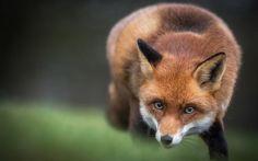 Descargar fondos de pantalla fox, desenfoque, los depredadores, la vida silvestre