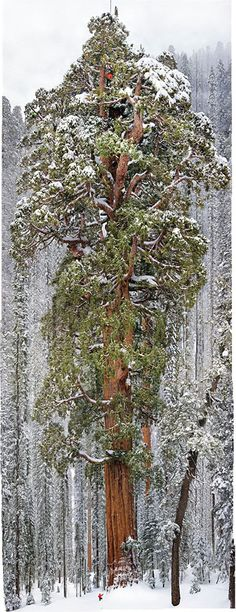 Capturing the Second Largest Tree in the World in a Single Image