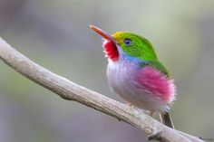 Cuban Tody (Todus multicolor) by aslam870 on 500px