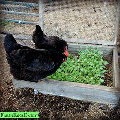 DIY Chicken Salad Bar | Fresh Eggs Daily®