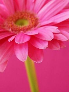 Gerbera Daisy - Colors: Hot Pink and Lime Green Belle Image Nature, Image Nature Fleurs, Fuchsia, Pink Purple, Pink And Green, Bright Pink, Color Rosa, Pink Color, Pink Love