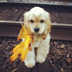6 month old American Cocker Spaniel Puppy in the Autumn with a leaf in its mouth