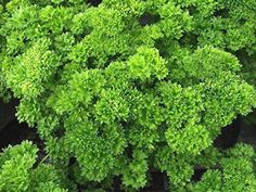 Curly Parsley 'Bravour Curled' Garden Herb Plug Plants x 6 from £4.99.