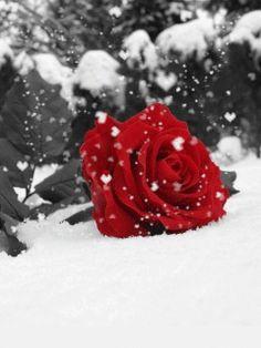 "Vaizdo rezultatas pagal užklausą ""animated rose wallpapers for mobile"" Beautiful Rose Flowers, Beautiful Gif, Love Flowers, My Flower, Flower Power, Red Colour Wallpaper, Rose Wallpaper, Mobile Wallpaper, Iphone Wallpaper"