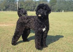 portuguese water dog - Google Search