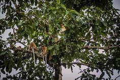 Proboscis Monkey Sukau Kinabatangan River Borneo  #proboscis #monkeys #tree #borneo #travel #adventure #jungle